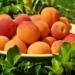 Чем полезны абрикосы для организма