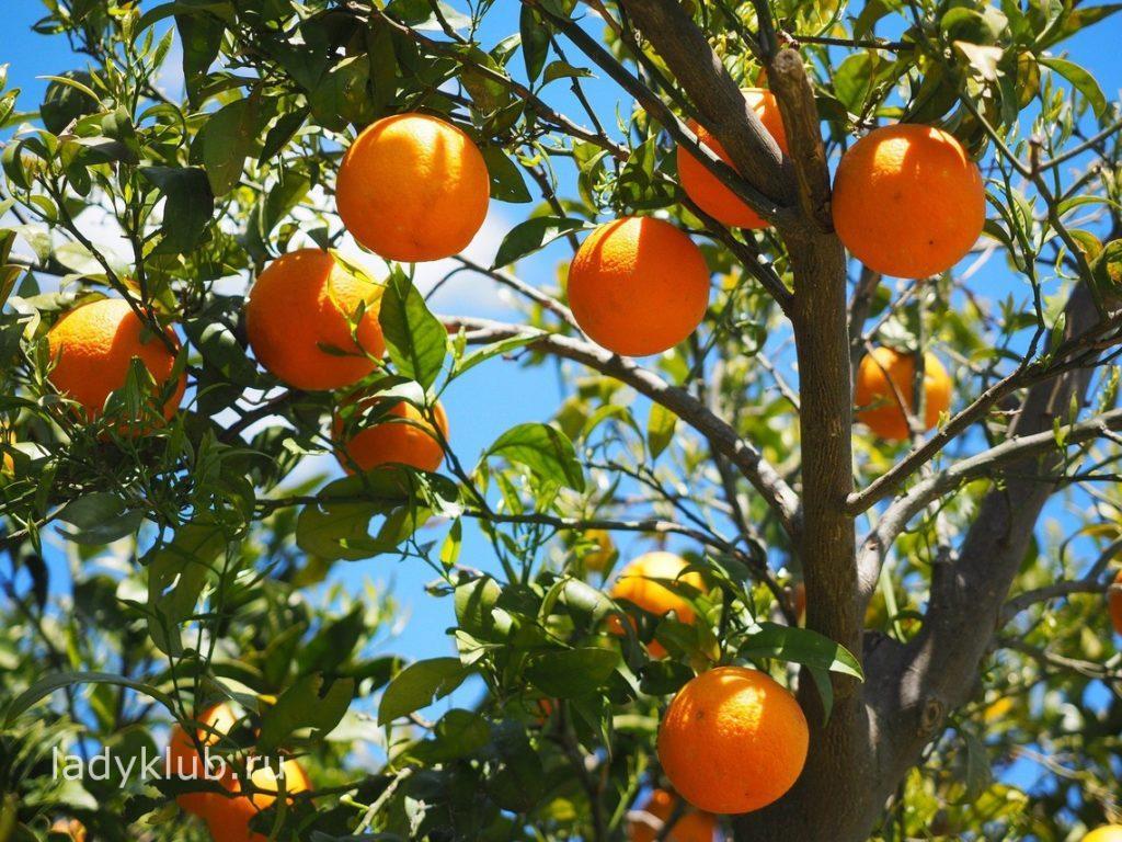 Общие сведения об апельсинах